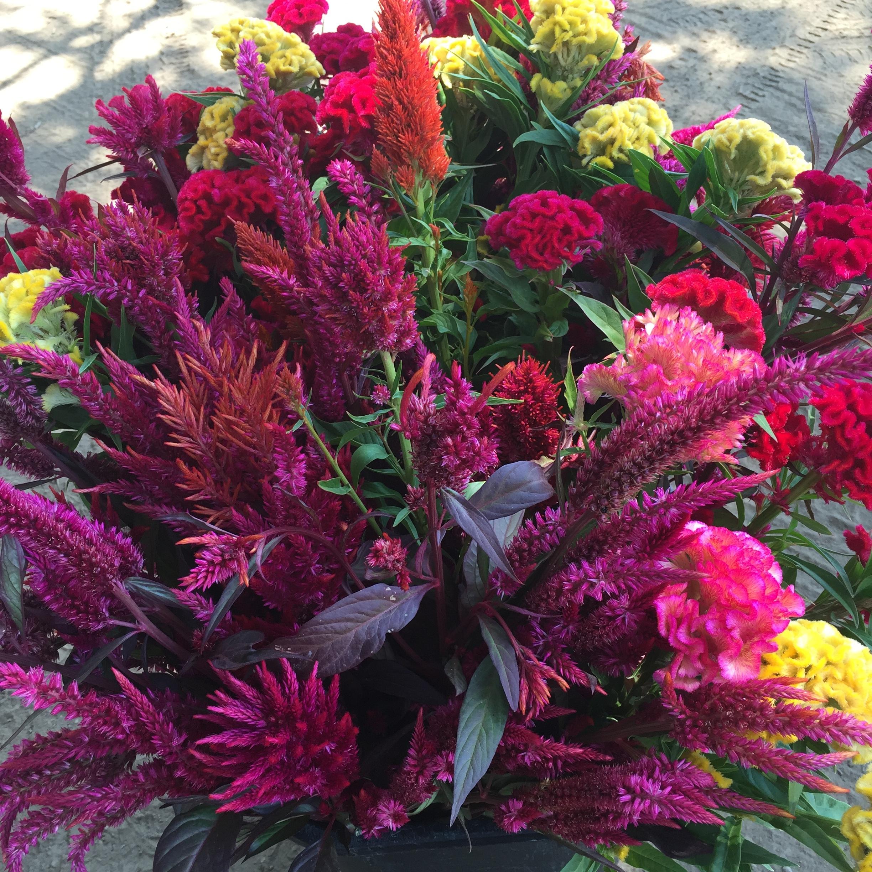 fiery, vibrant celosia varieties