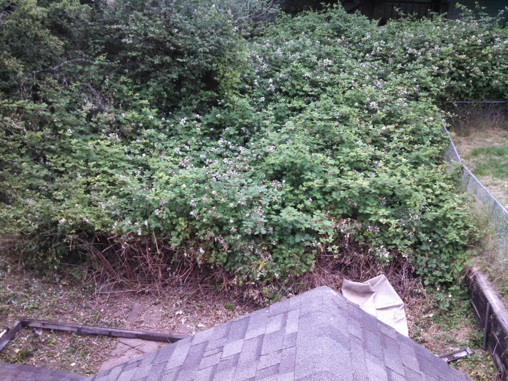 When I bought my house the back yard was overrun with blackberries. Cutting through them with a machete was definitely interesting.