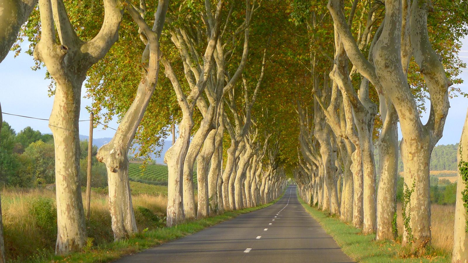Plane-trees.-Tournissan.jpg