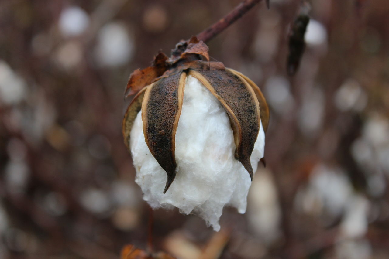 A cotton boll ready to be picked