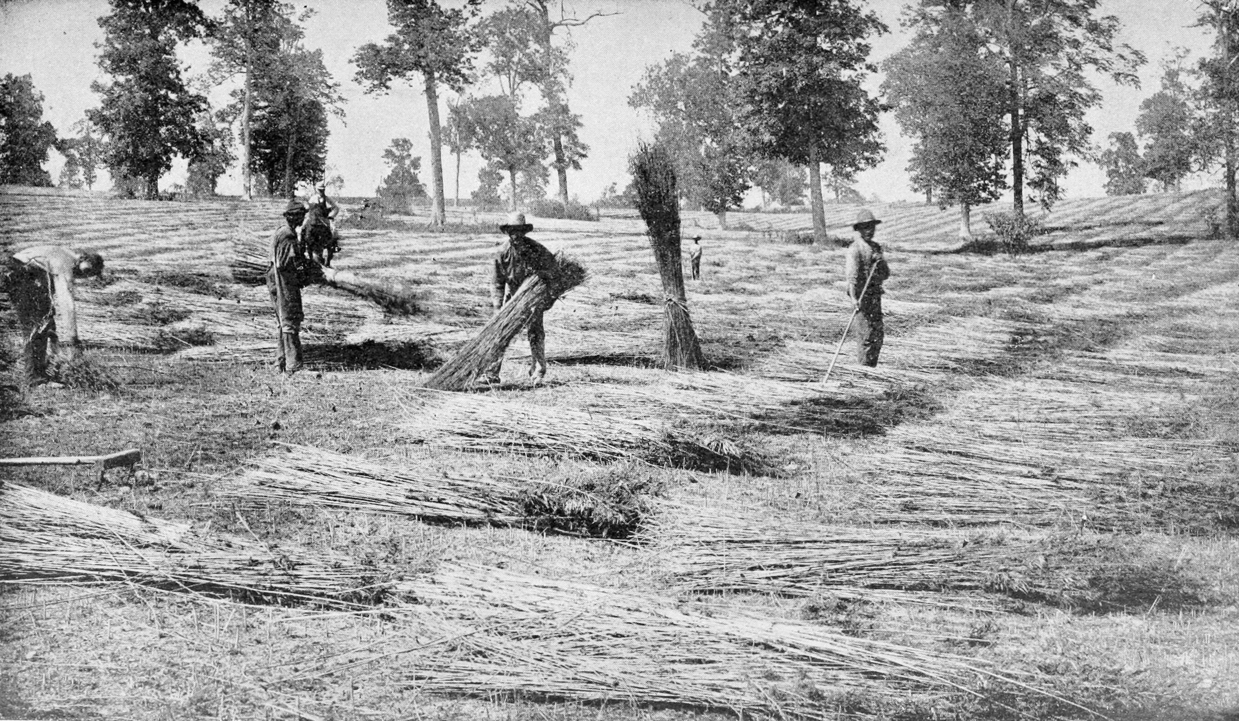 Hemp farmers in Kentucky, USA 1898