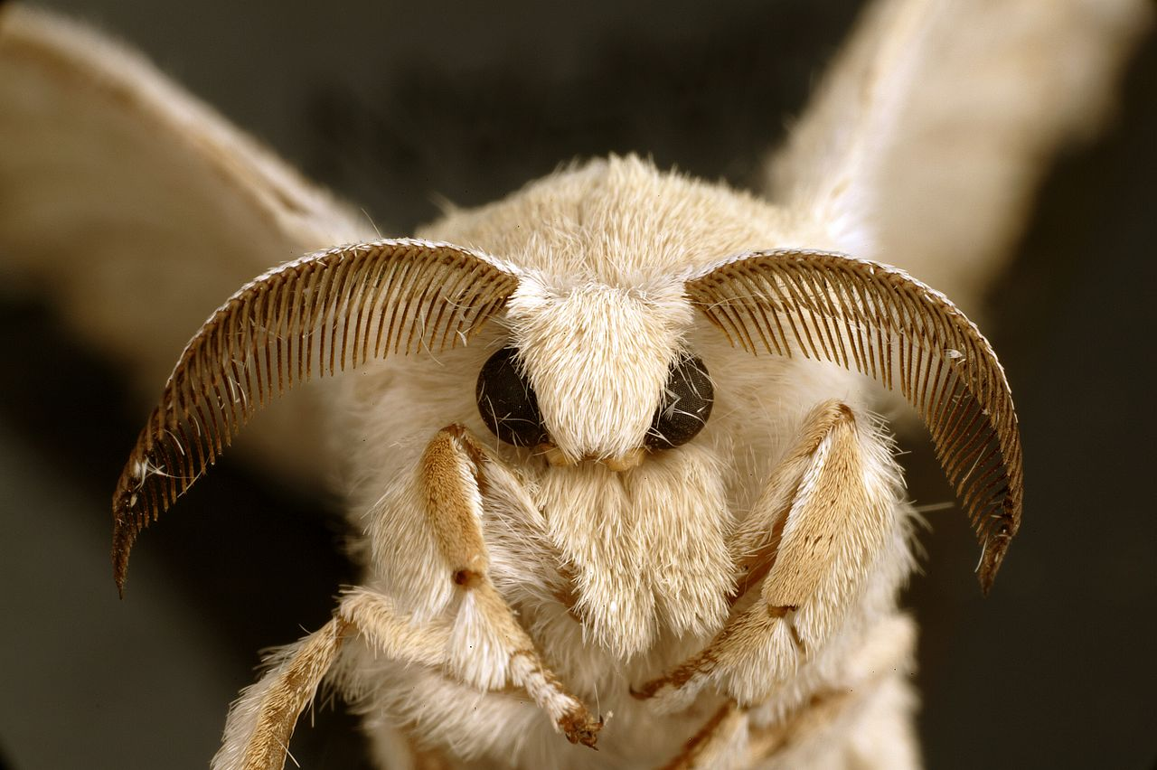 The domesticated silk moth,  Bombyx mori -  cute!