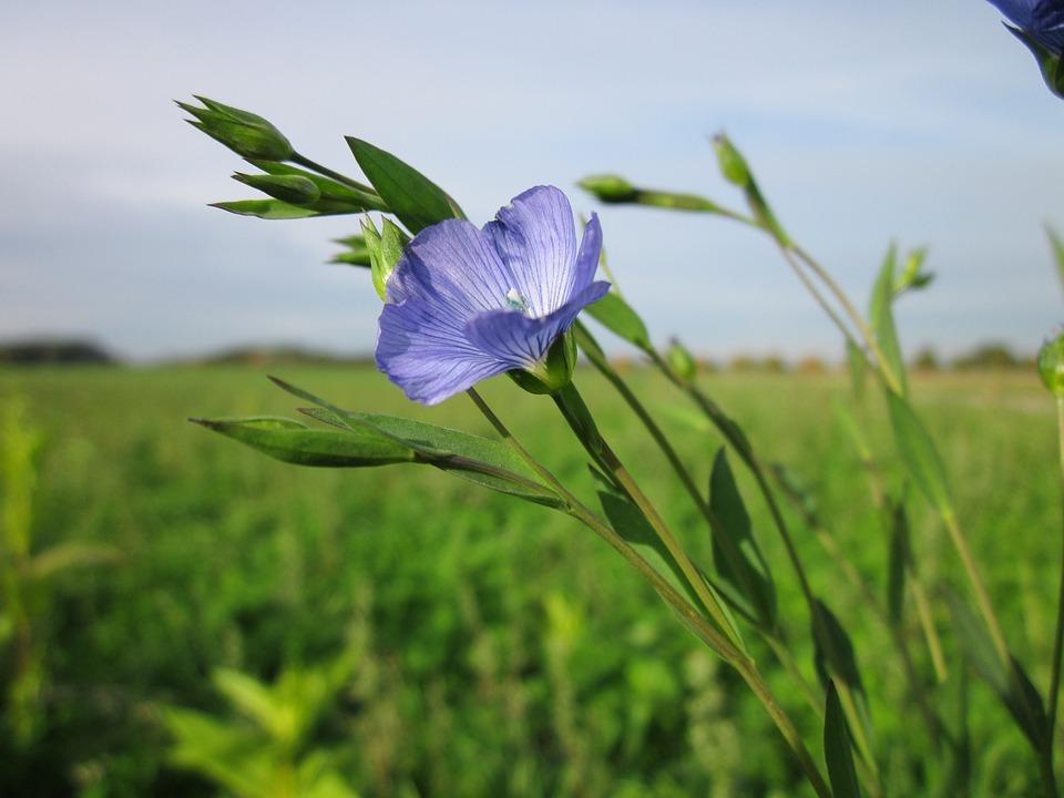 Linen flax ( Linum usitatissimum) in flower