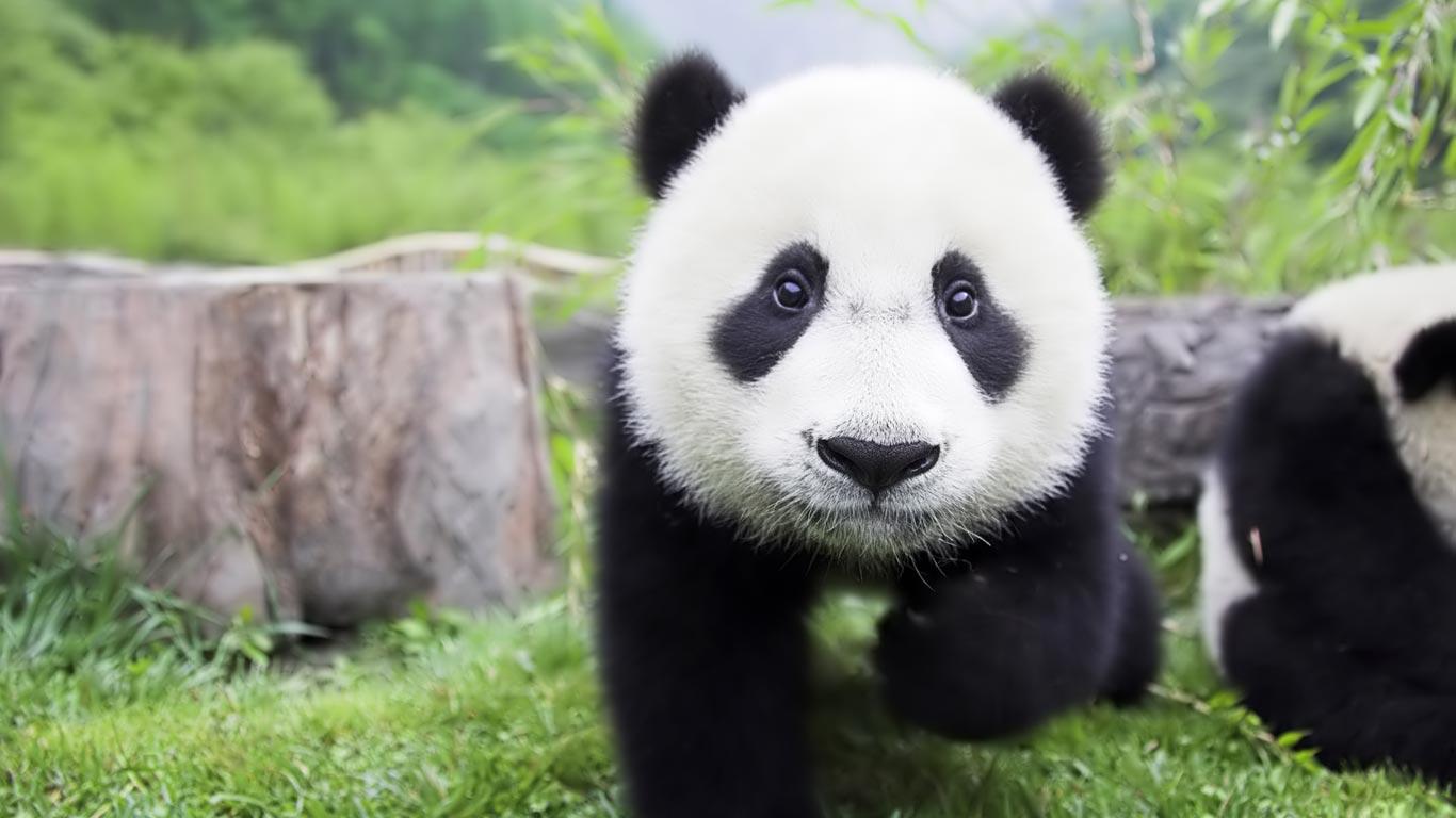 Panda panda panda panda