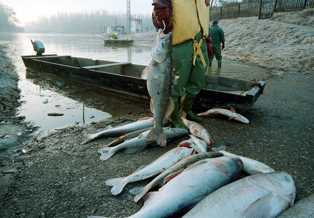 Dead fish in the Somes River following the 2000 Baia Mare cyanide spill near Baia Mare,Romania, by the gold mining company Aurul (photo credit: Wiki Commons)