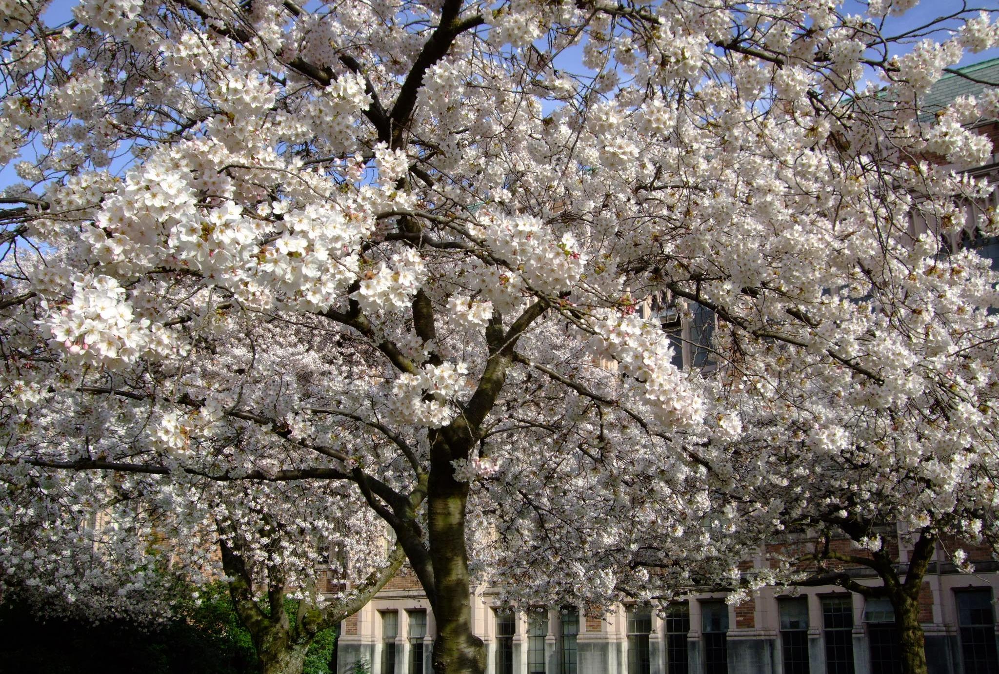 Cherry blossoms at UW, April 2013