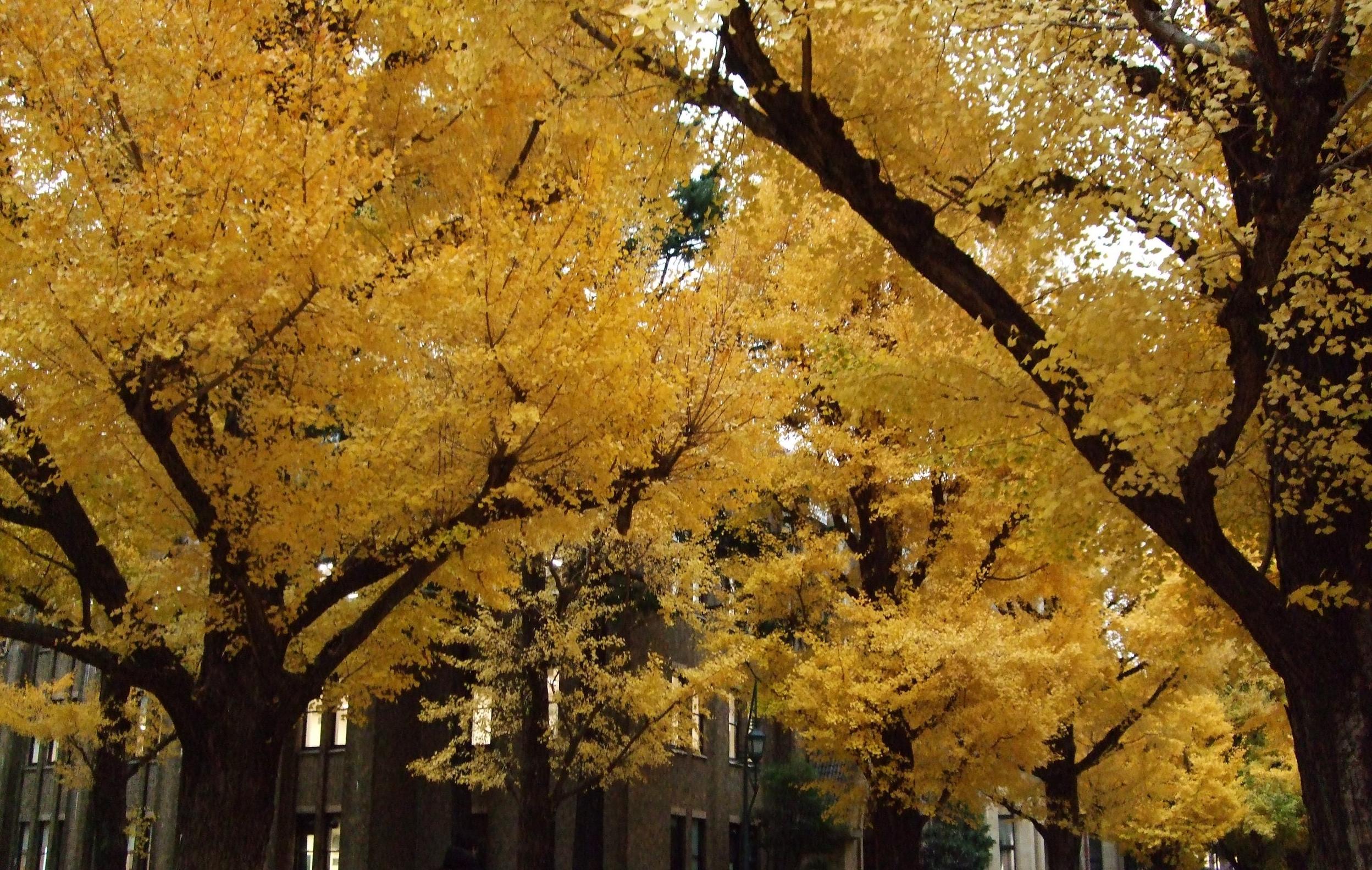 Gingko trees at U of Tokyo, November 2017