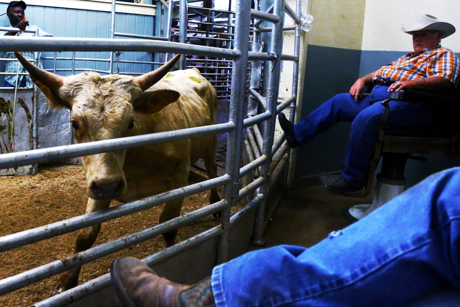 A calf anxiously paces across a pin in a local cattle auction. Frank has noticed a change in the area's cattle ranching culture over time, with increased use of electric cattle prods and machinery, among other things. The Texas cattle industry has become about quantity, he says.He tries to make his ranch still about quality, he says.