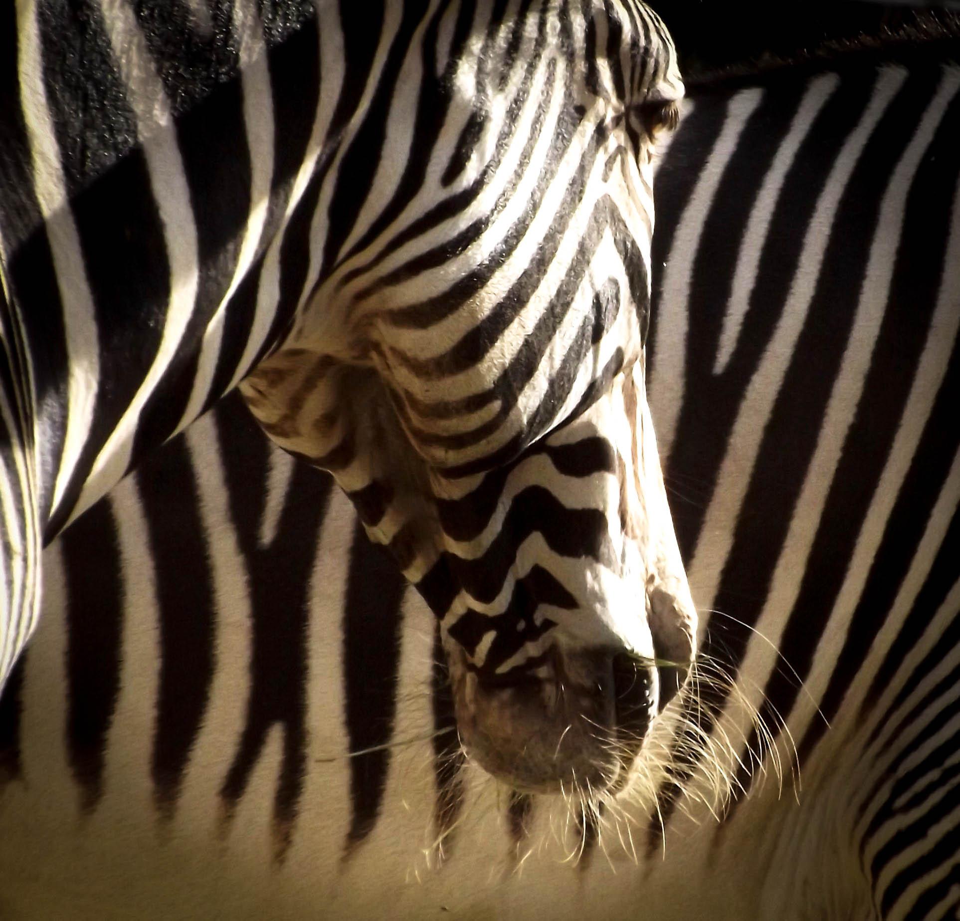 zebras 1.jpg