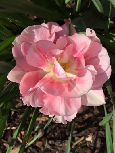 open-tulip.jpg