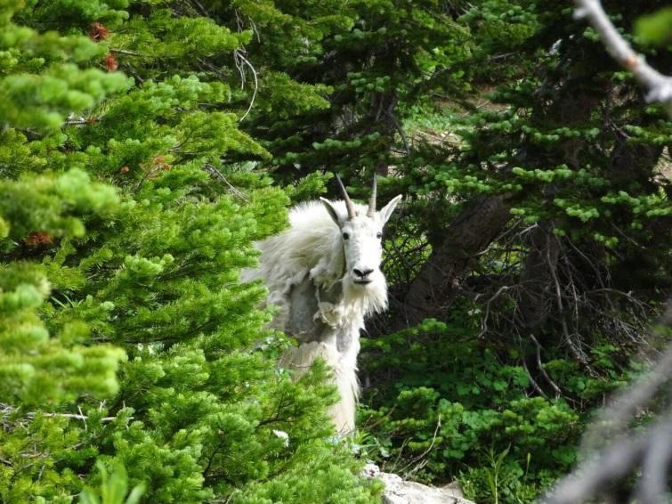mountain-goat-bob-marshall-wilderness