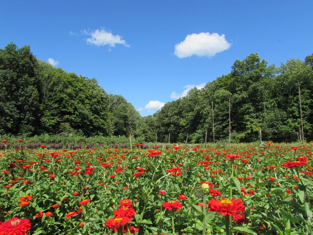 Zinnia Flower Field  at the Hudson Valley Seed Library