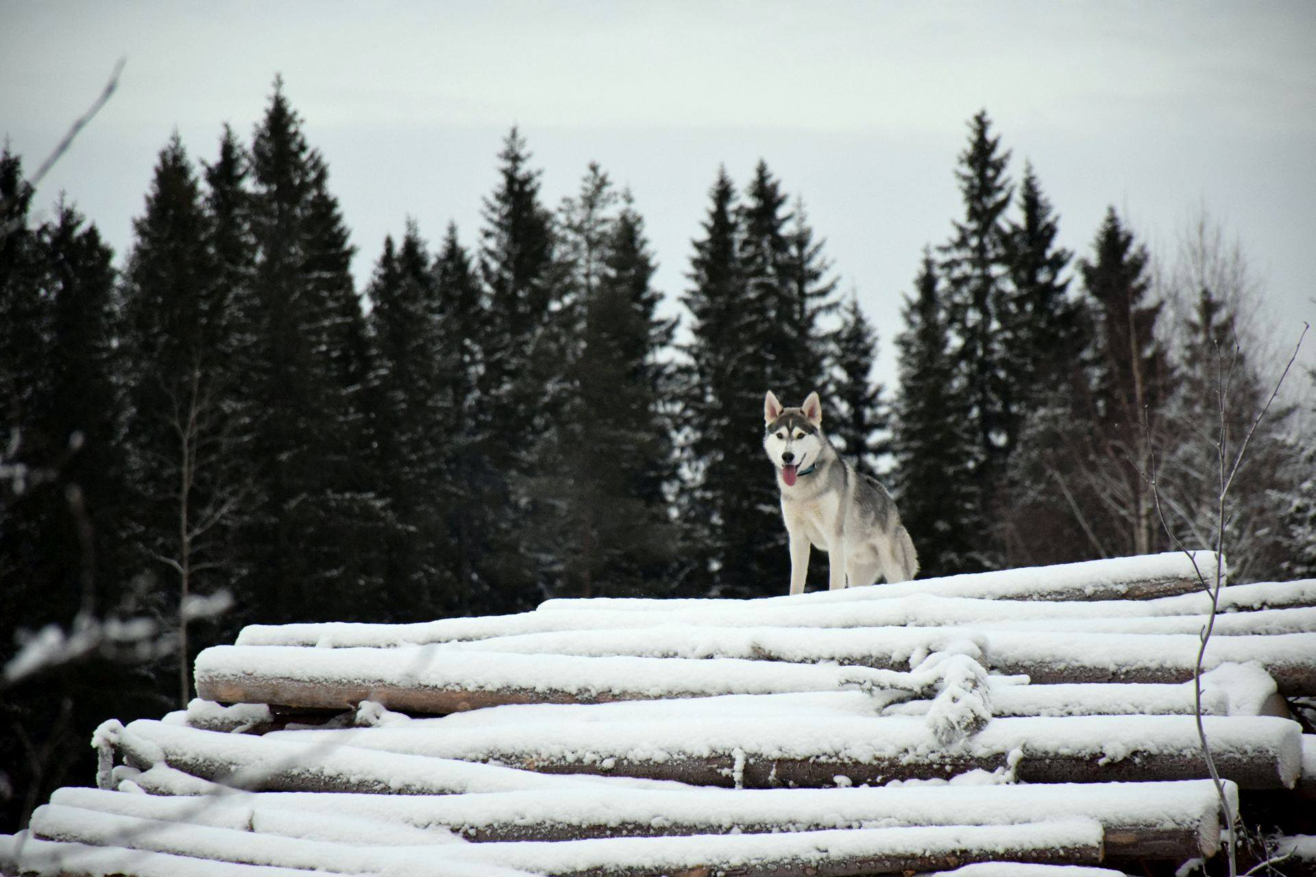 Juha's dog is part wolf