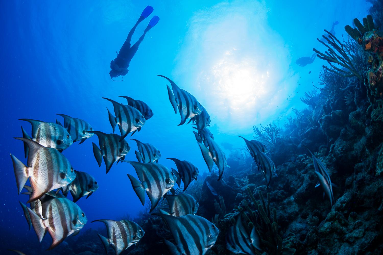 Atlantic Spadefish (Chaetodipterus faber), Turks & Caicos Islands