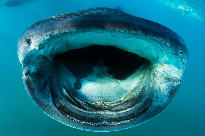Whale Shark, La Paz, Mexico