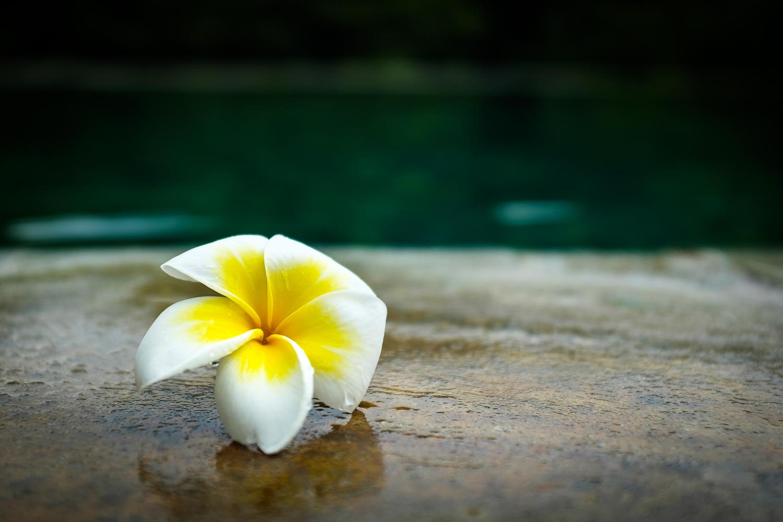 Frangiapani Blossom, Bali