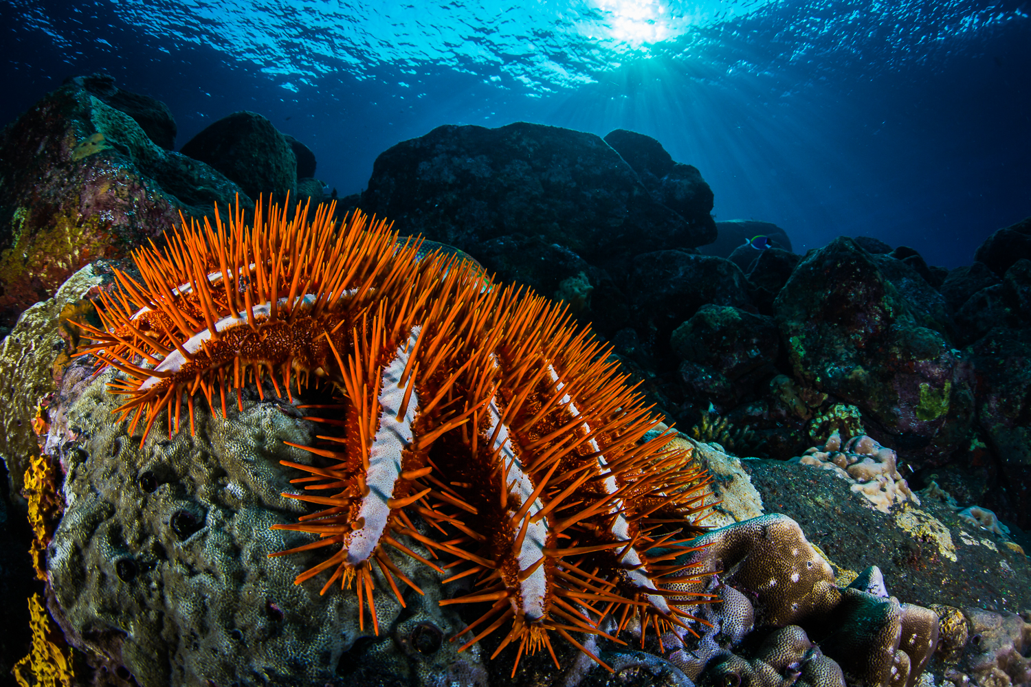 Crown of Thorns (Acanthaster planci), Barren Island, Andaman Sea, India