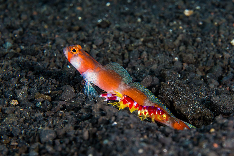 Aurora Shrimpgoby (Amblyeleotris aurora) & Randall's Shrimp (Alpheus randalli), Barren Island, Andaman Sea, India