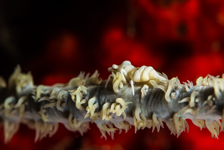 Whip Coral Shrimp (Pontonides ankeri), Barren Island, Andaman Sea, India