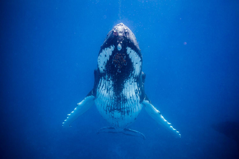 Humpback Whale, Mo'orea, French Polynesia