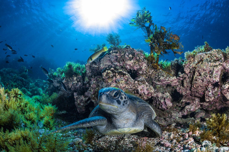Sea Turtle, Catalina Island, CA