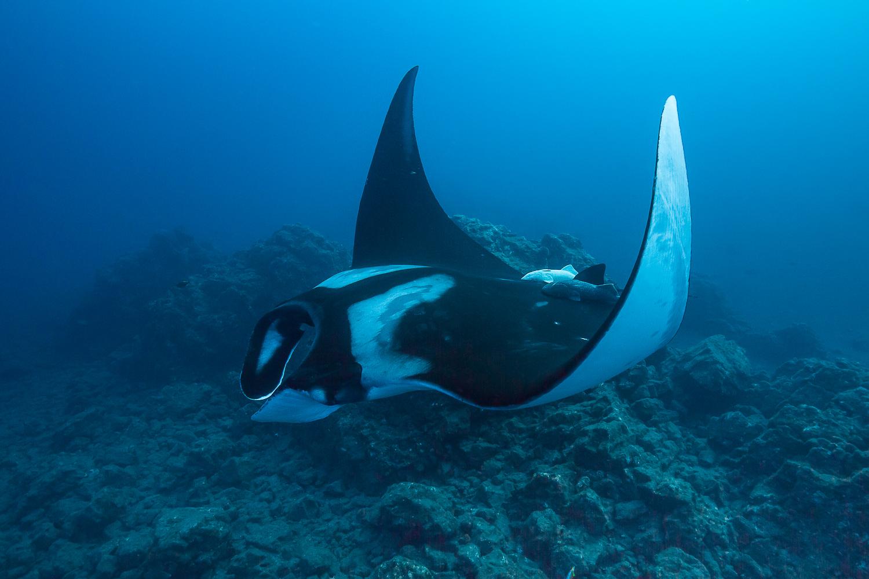 Oceanic Manta Ray, San Benedicto Island, Mexico