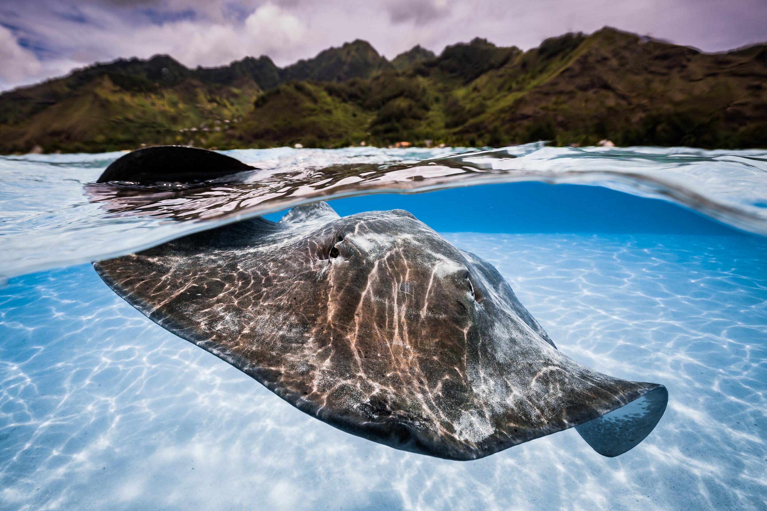 Sting Ray, Mo'orea, French Polynesia