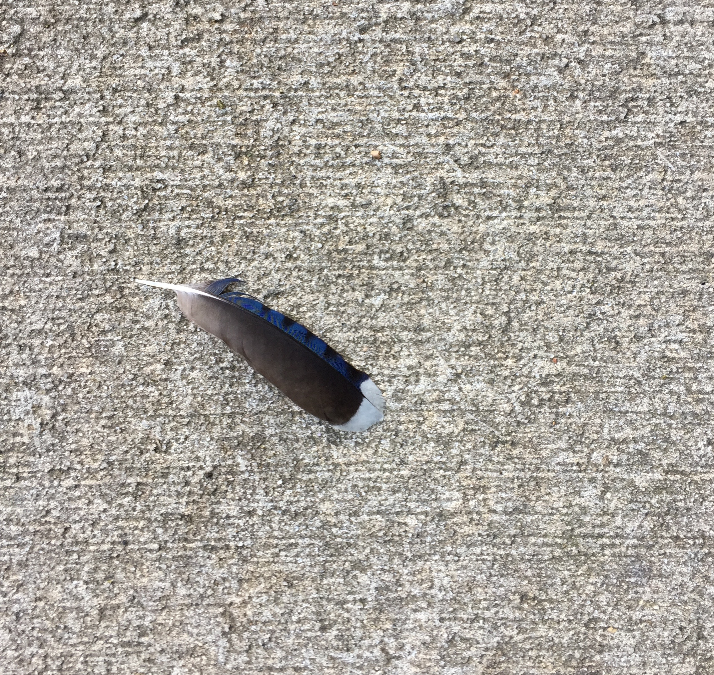A bird's feather gracing the concrete walkway in a local park.