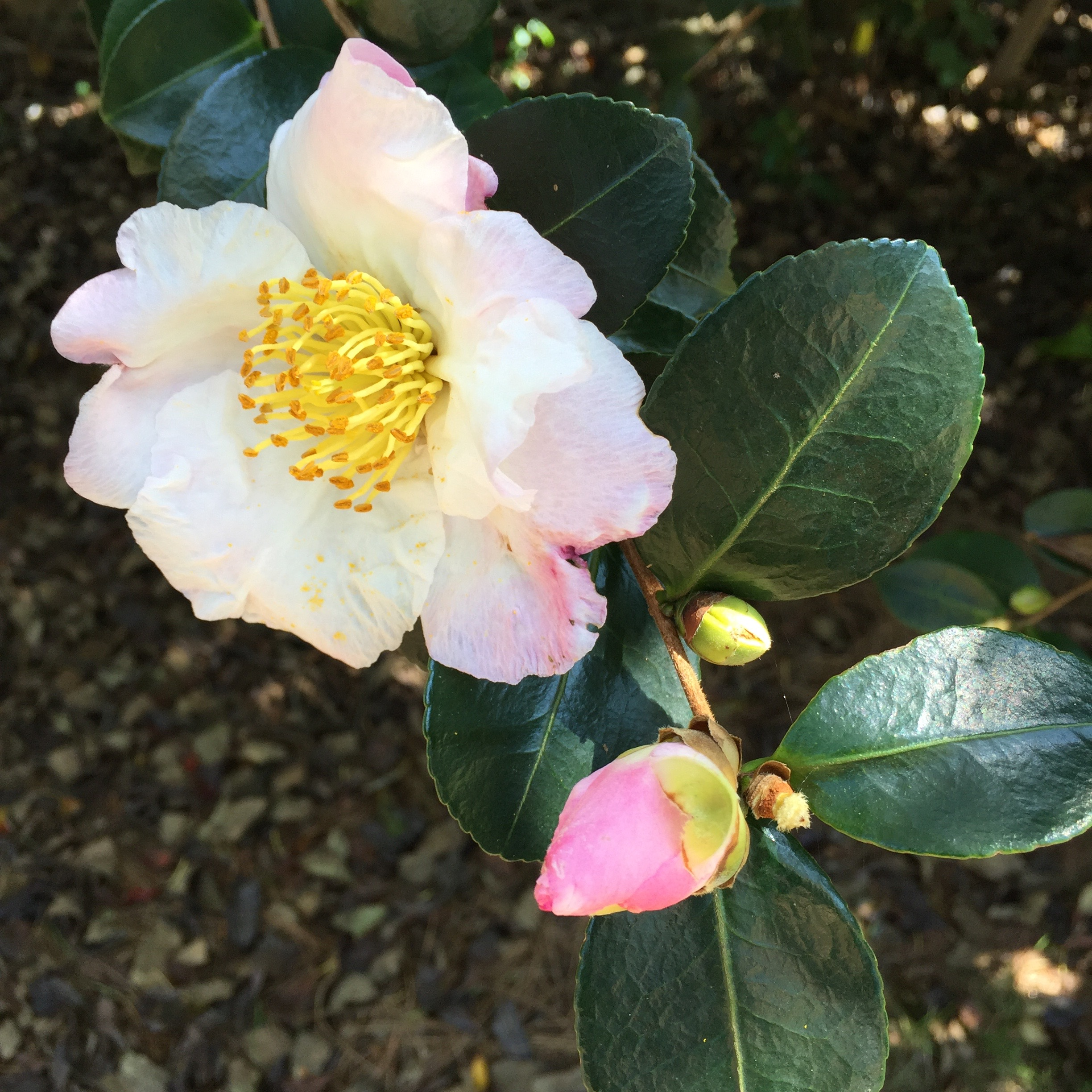 white-camellia-with-bud.jpg