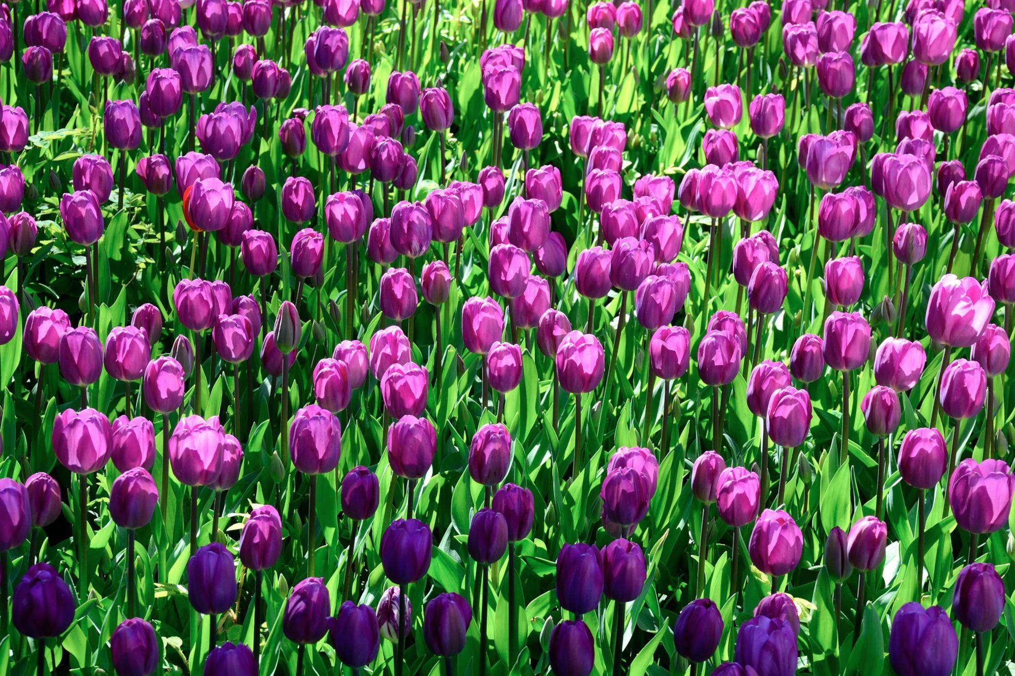 field-of-tulips.jpg
