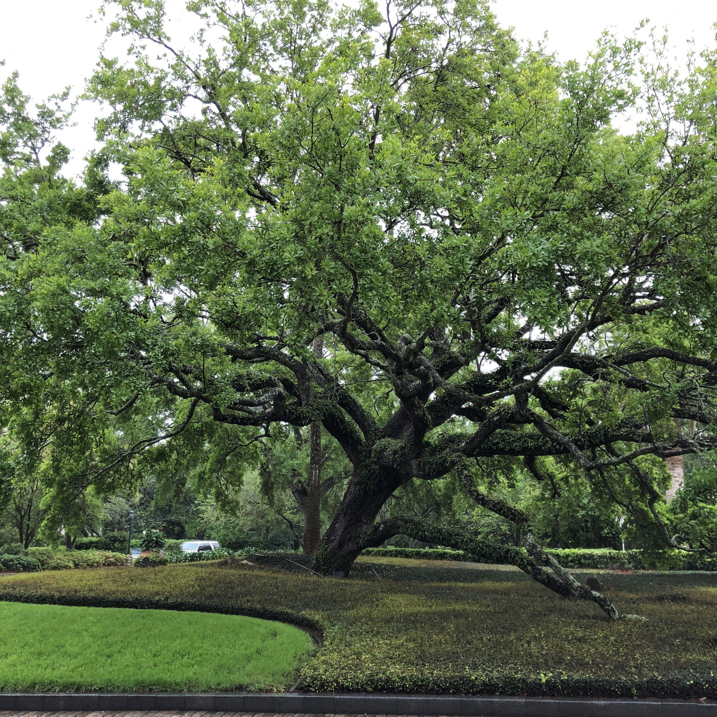 oak-tree-spanish-moss.jpg