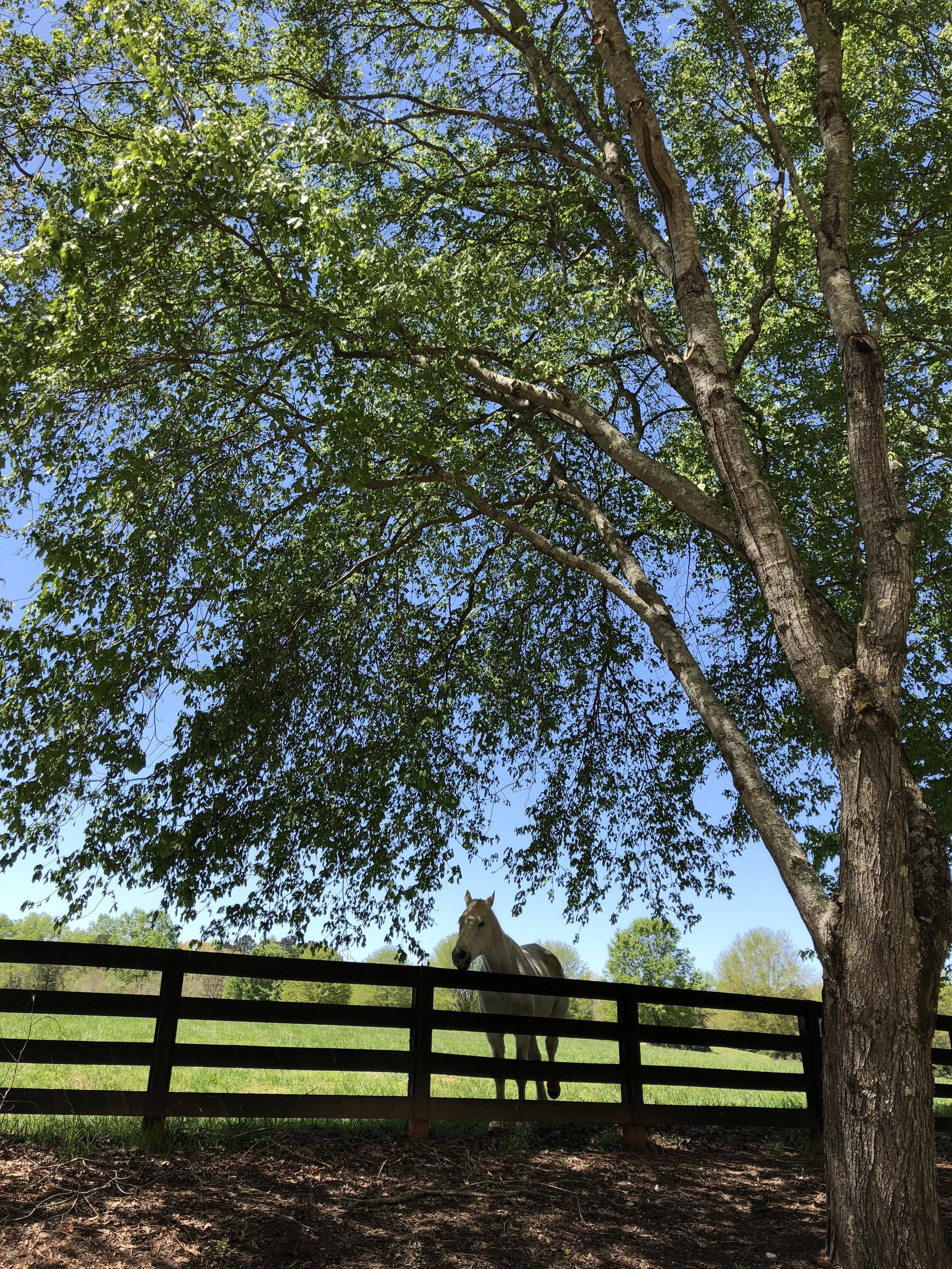 white-horse-fence-tree-sky.jpg