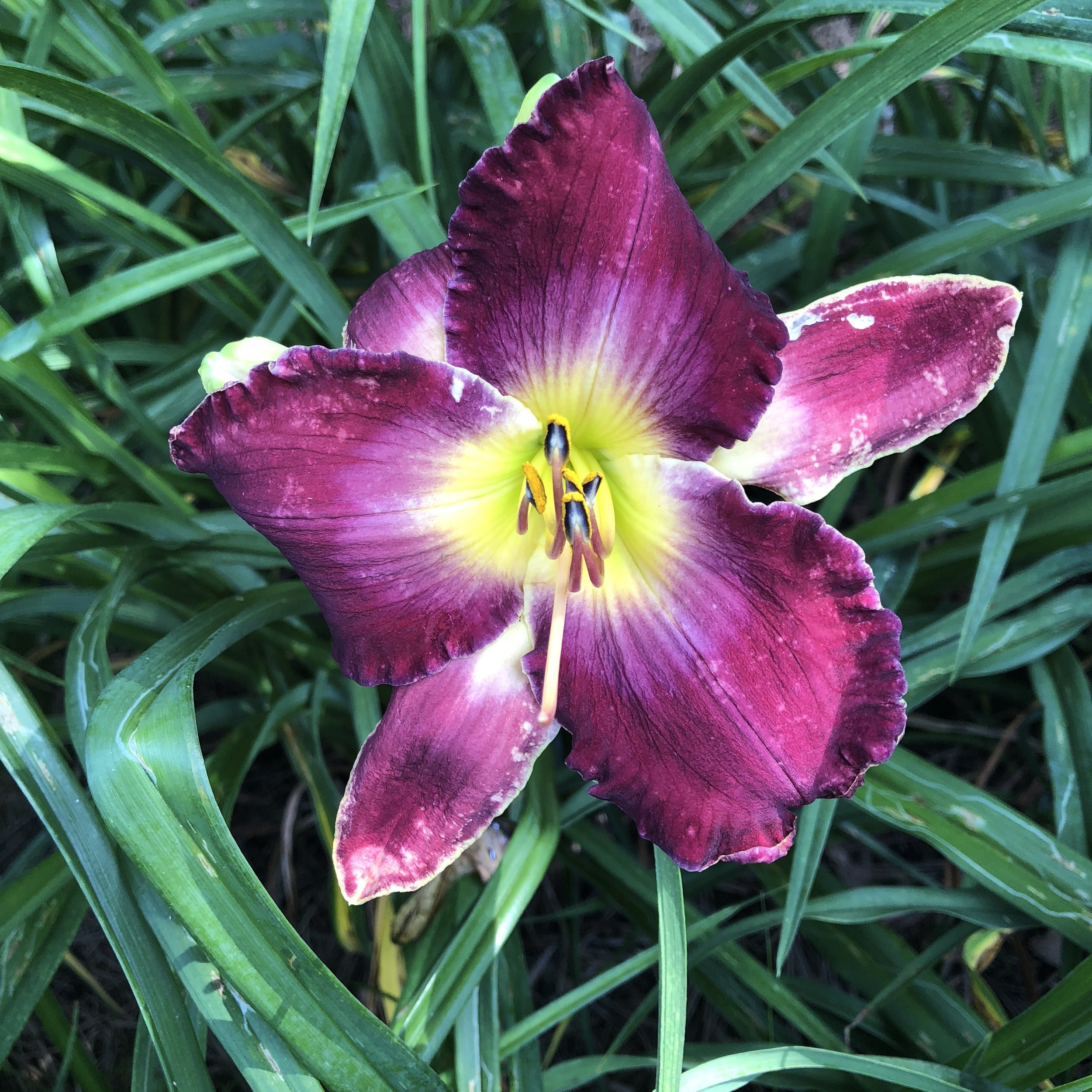 One of over 100,000 daylilies