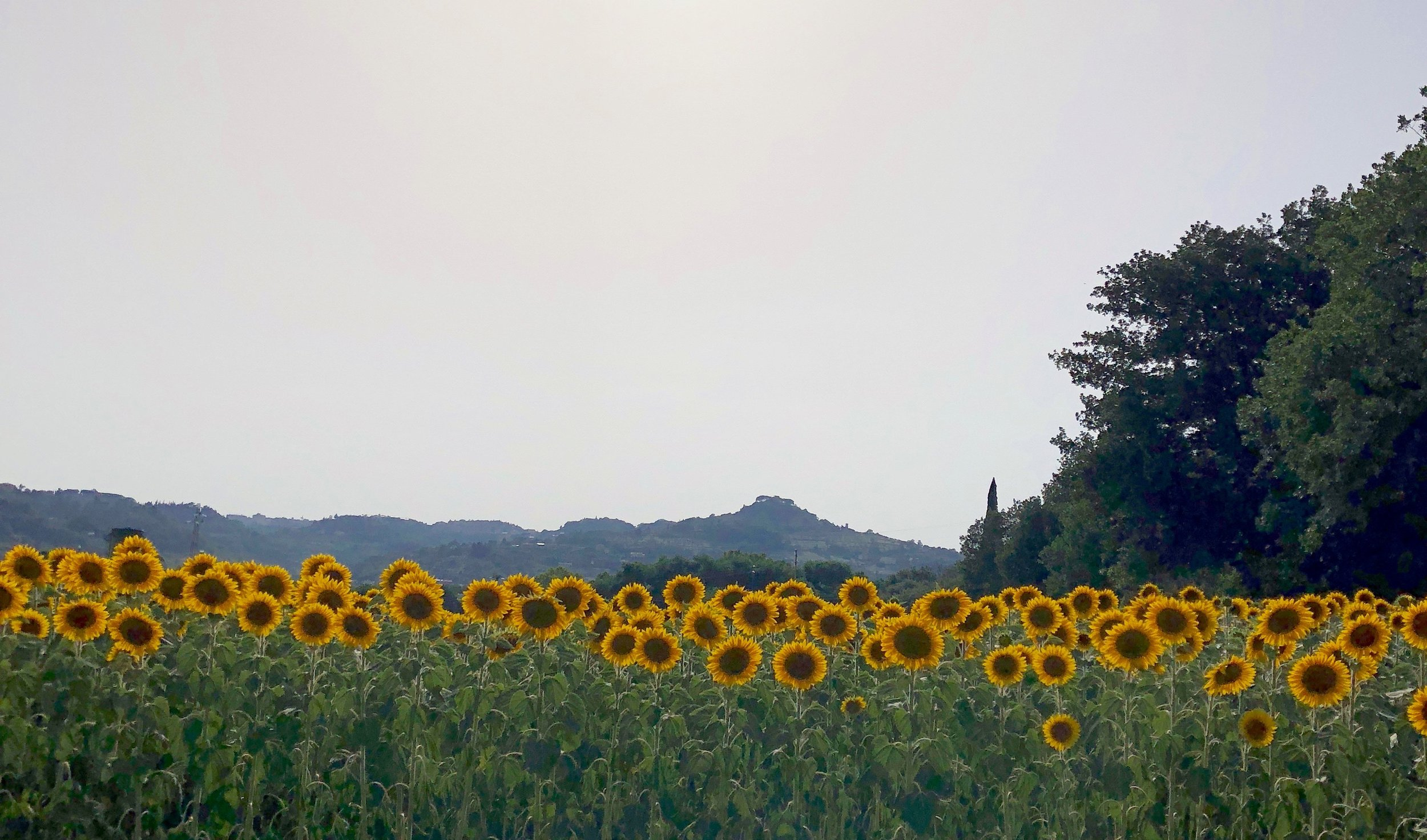 A sunflower field not far from the highway in Umbria, Italy.