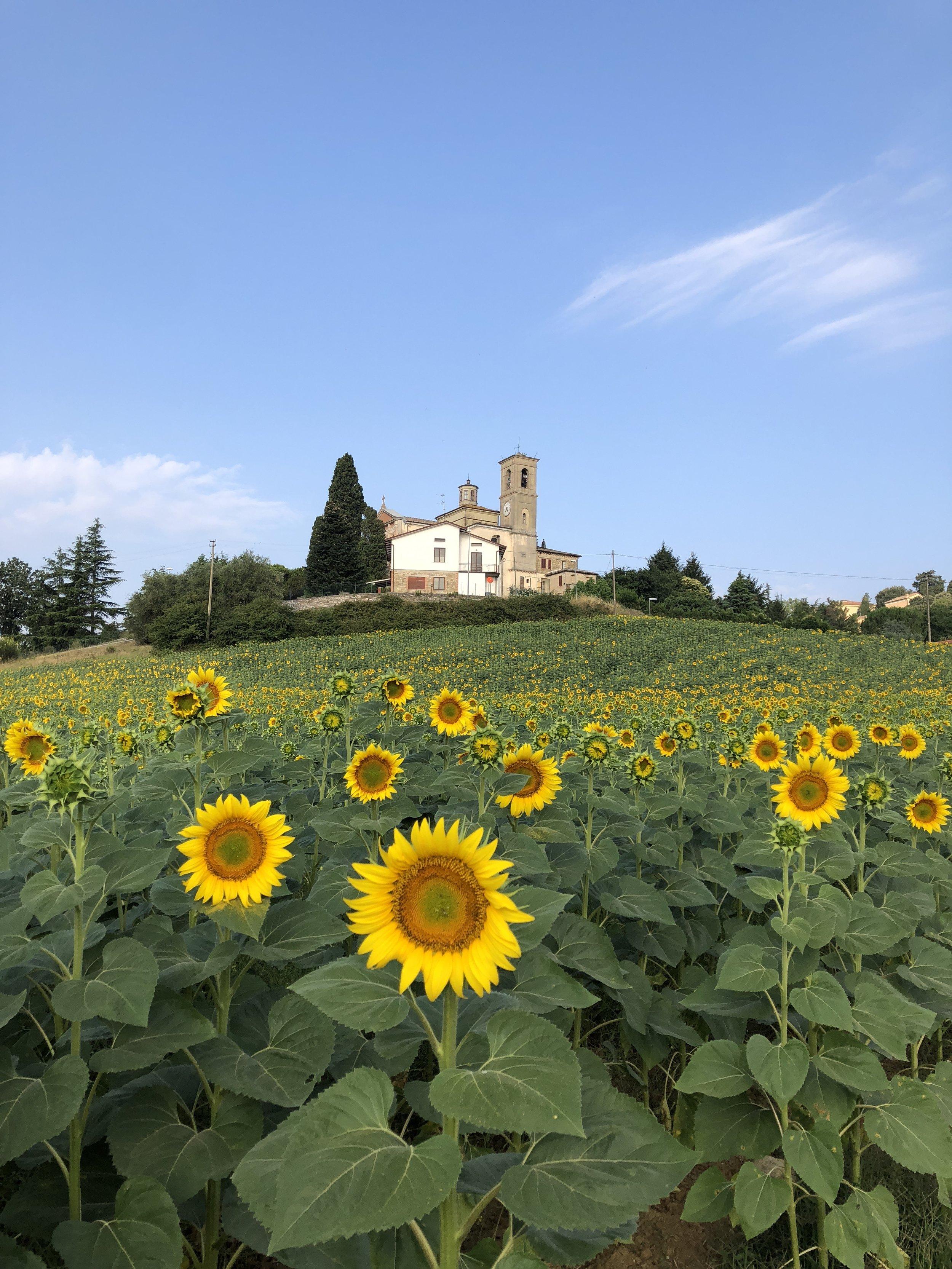 sunflower-field-3-umbria.jpg