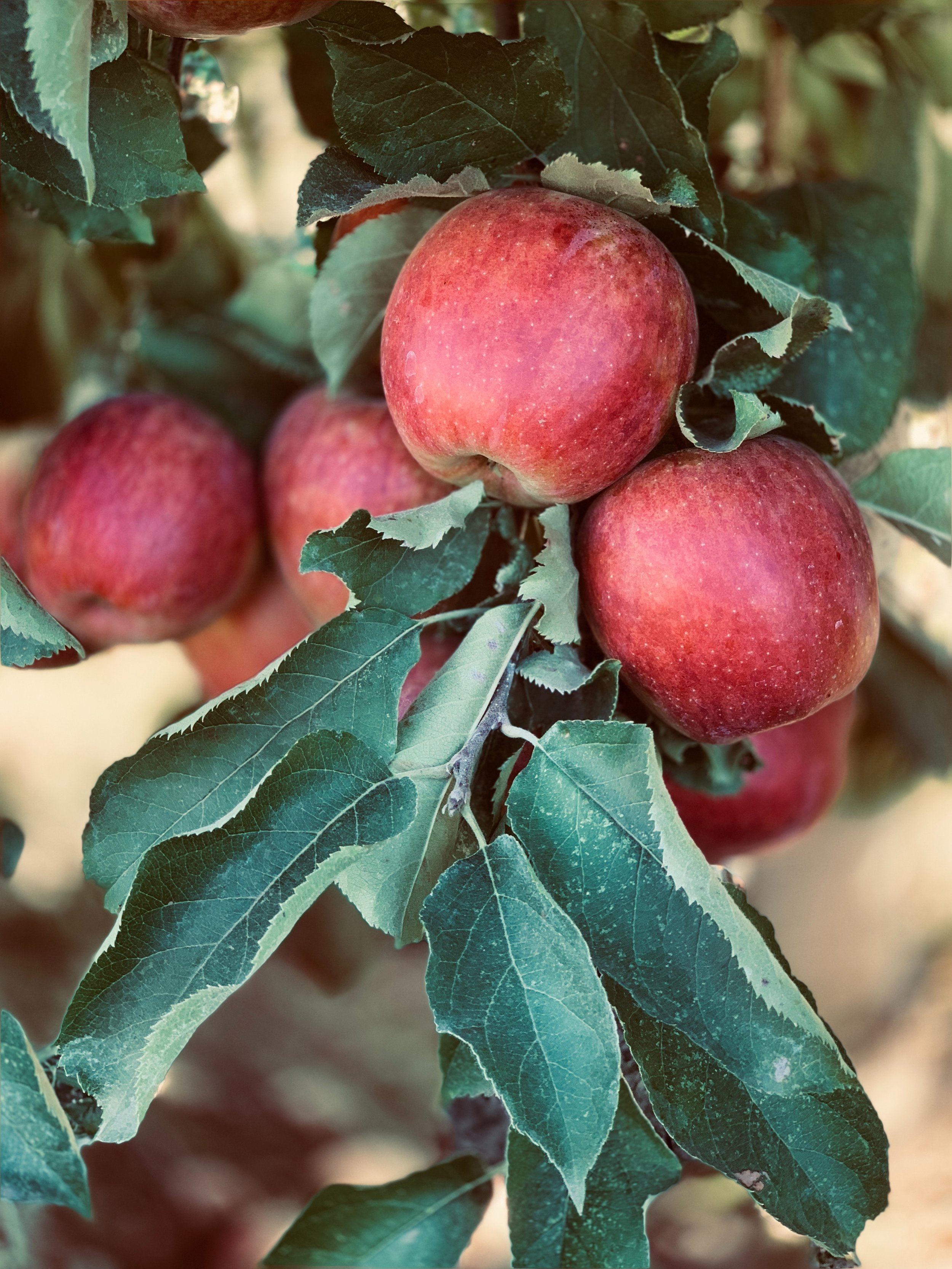 Glimsen-apple-tree.jpg