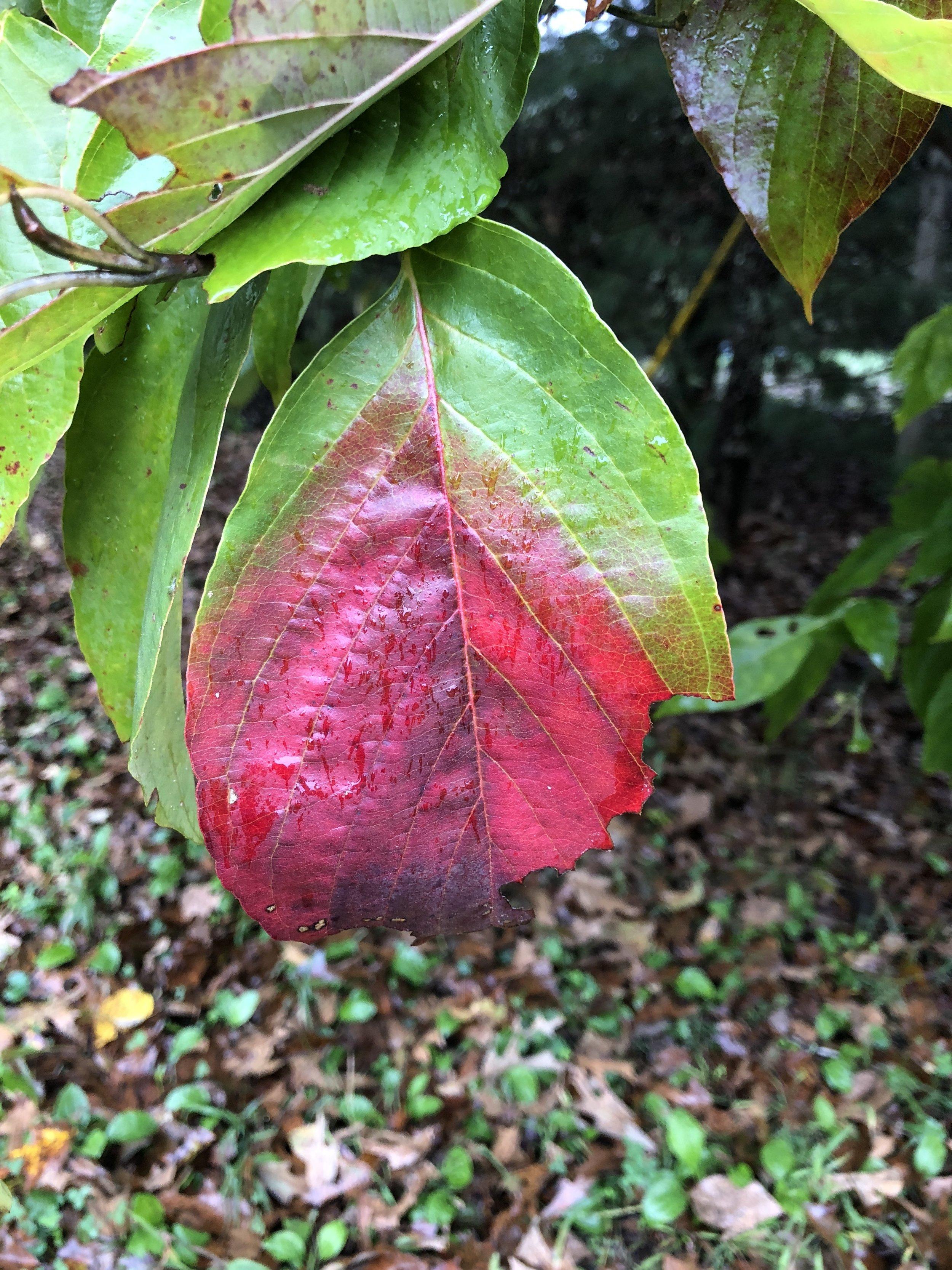 glimsen-leaf-changing.JPG