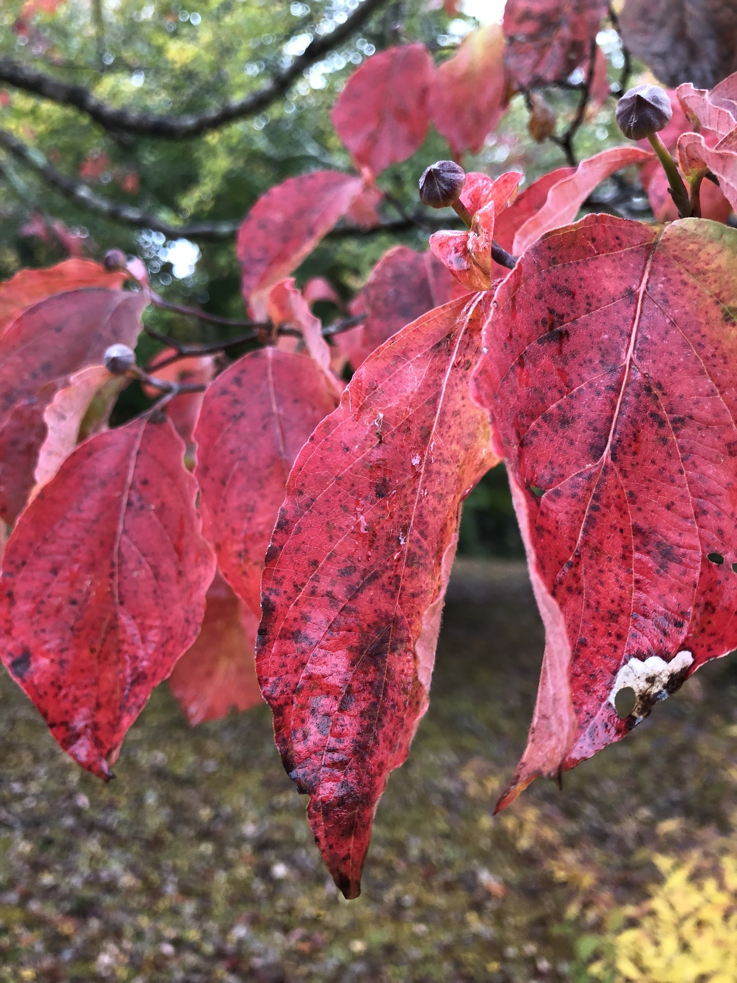 Glimsen-red-dogwood-leaves.jpg