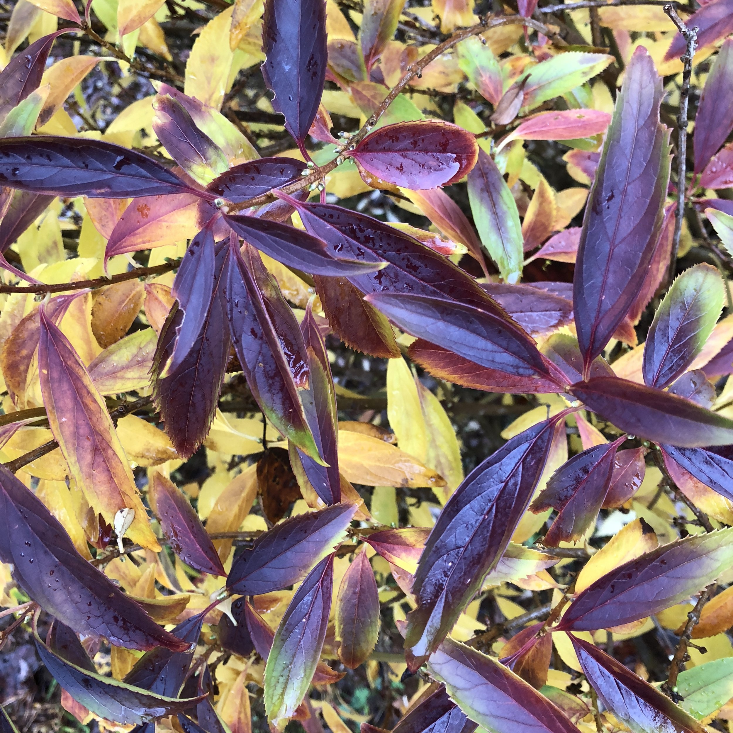 Glimsen-purple-forsythia-leaves.JPG