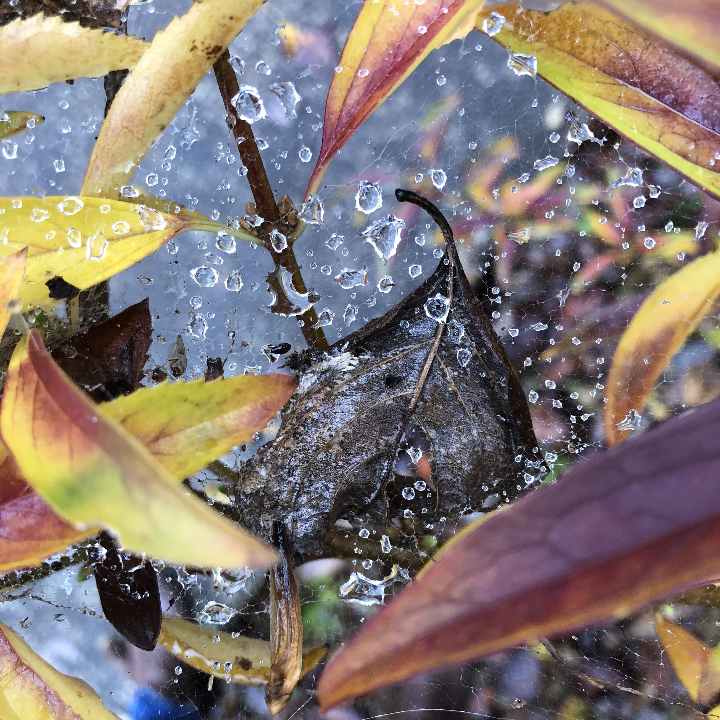 Glimsen-wet-web-leaves.JPG