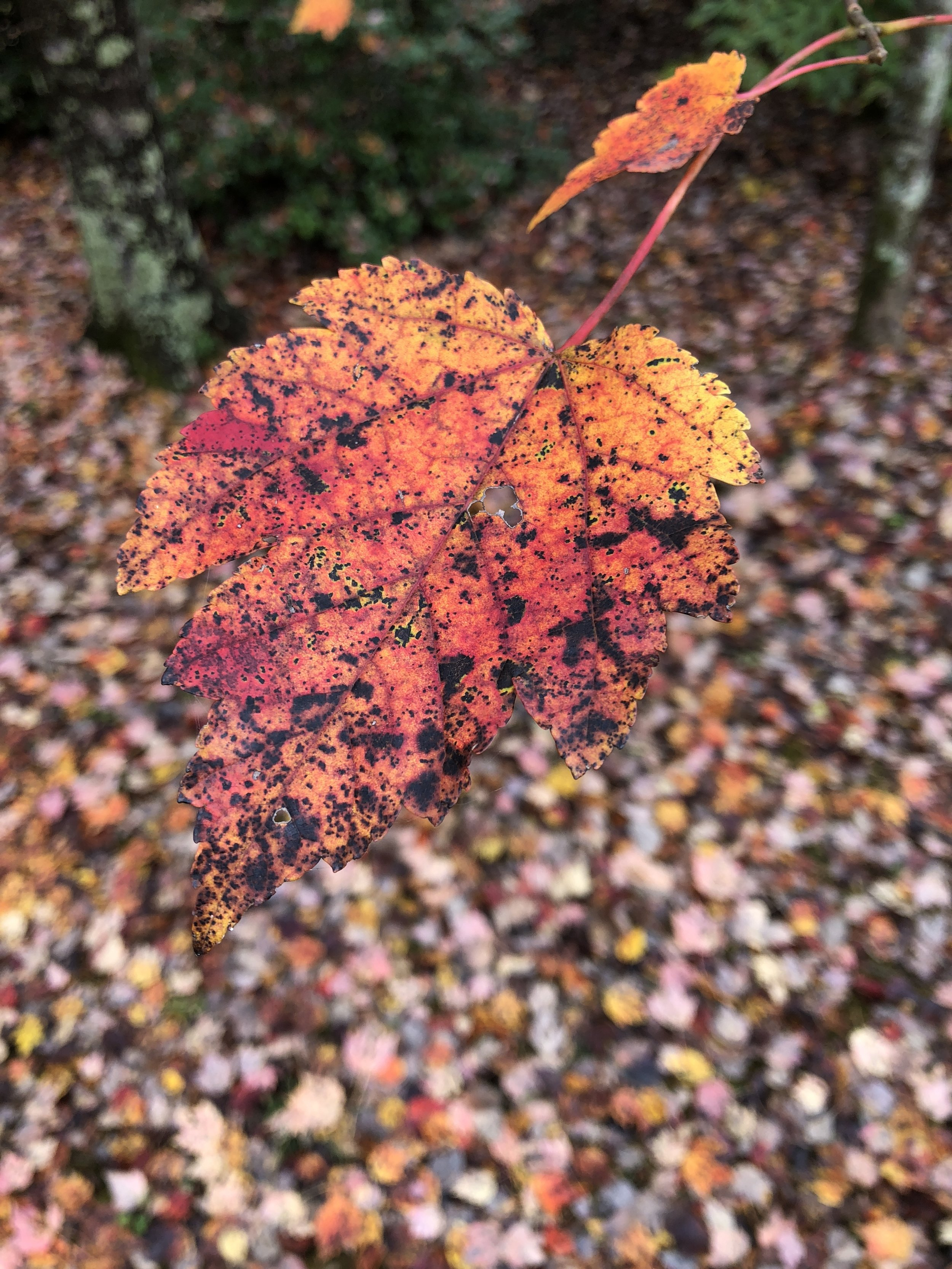Glimsen-red-leaf-spotted.jpg