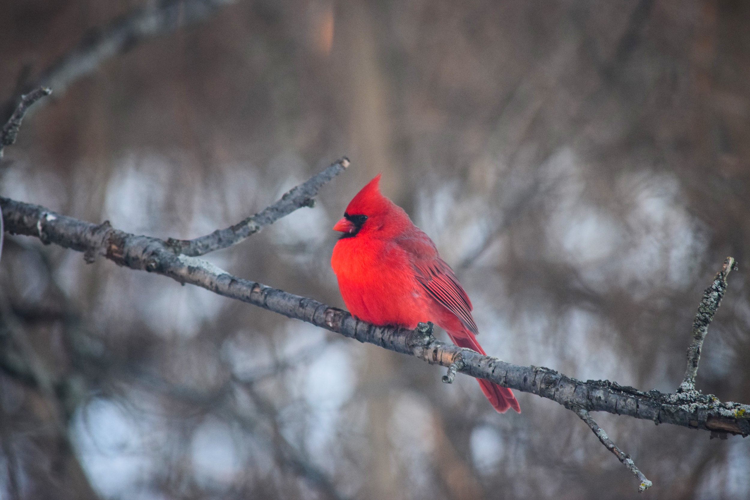 Glimsen-red-cardinal-branch.jpg