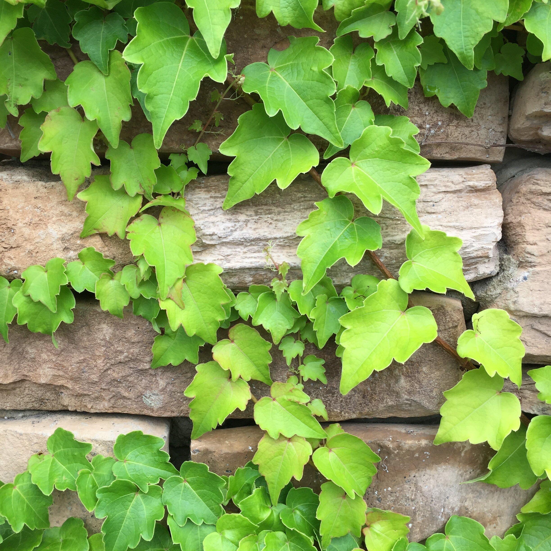 glimsen-ivy-wall.jpg
