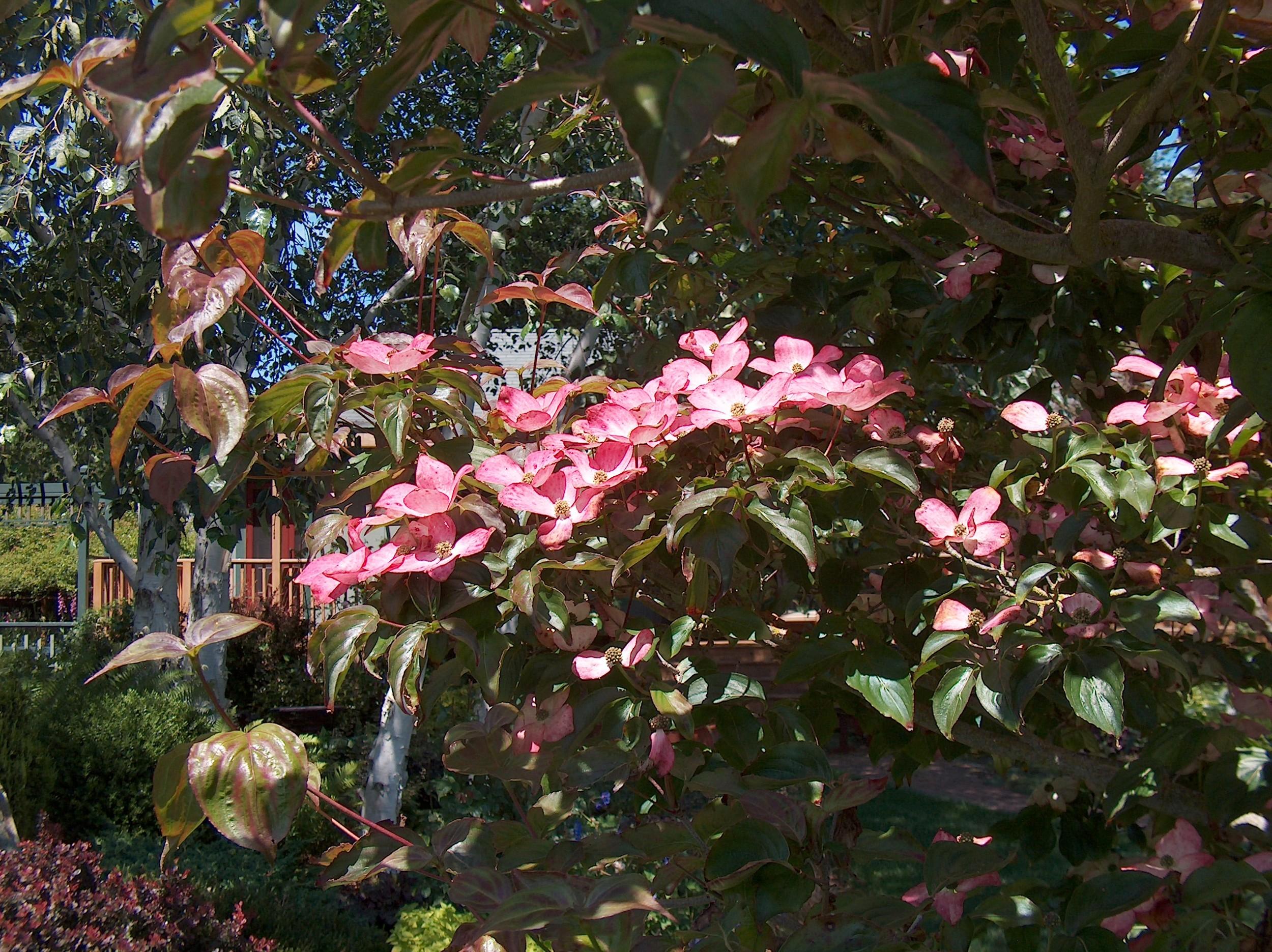 DogwoodBloomFoliage.JPG