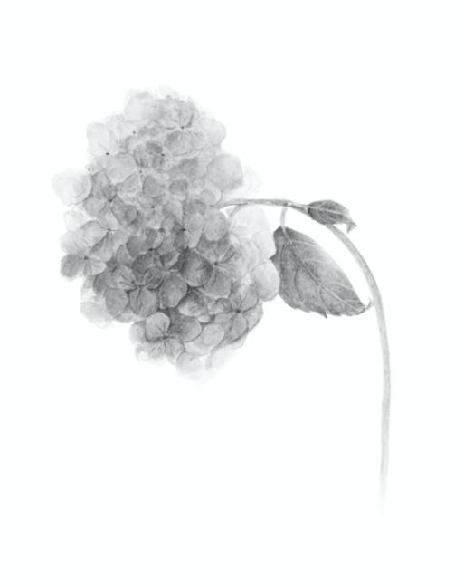 Grey scale hydrangea