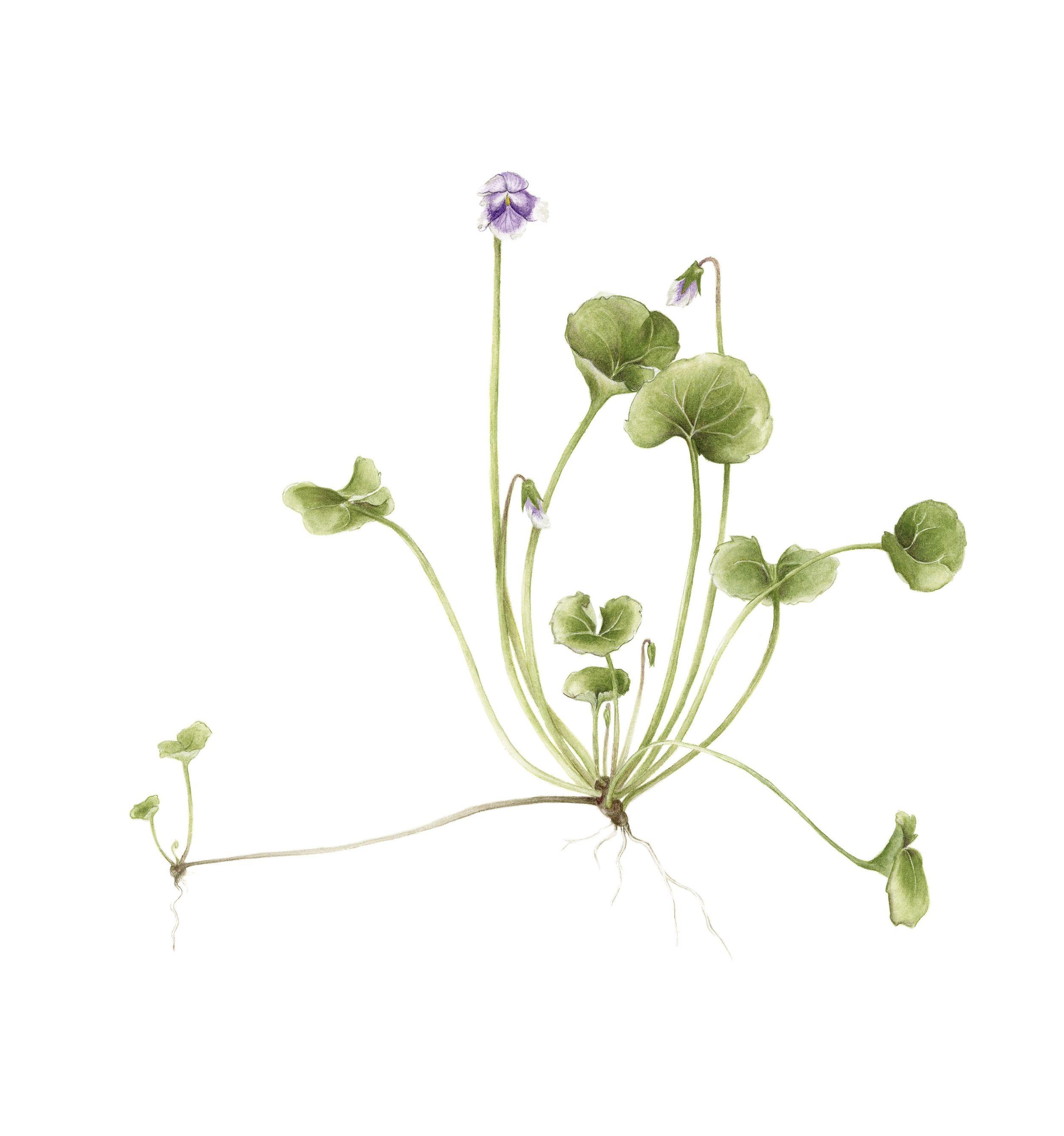 Native violet plant