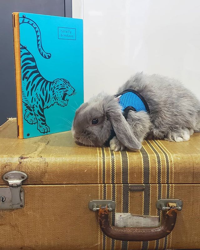 Meet the newest member of the Lost Luggage team, Lennon the mini lop bunny! #tasteenvy #bunny #minilop #officepet