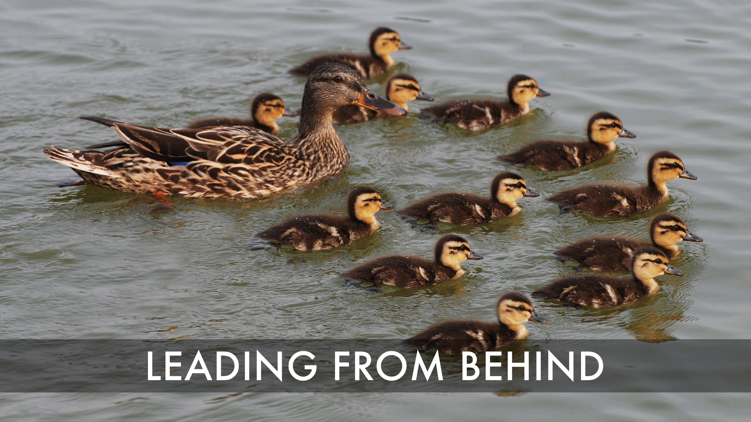 Leading from Behind - 12 Ducklings and Mom.jpg