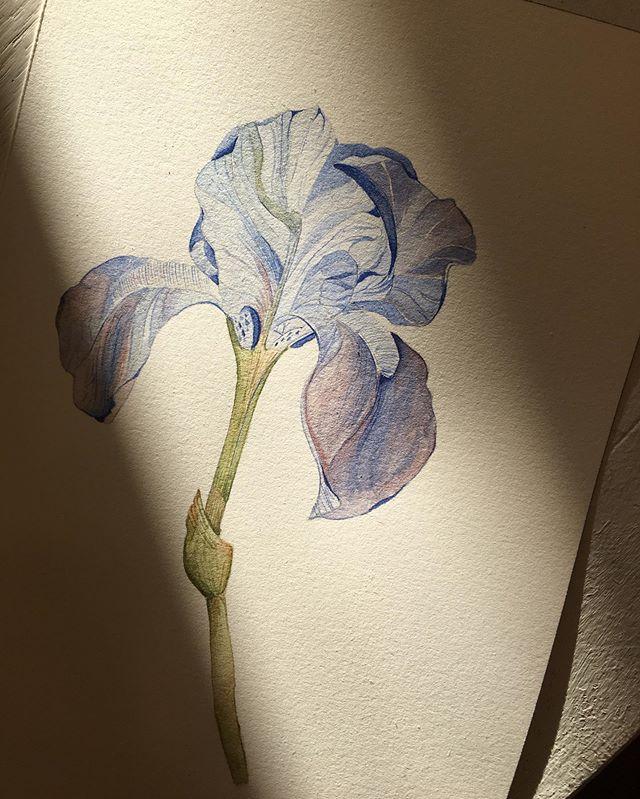 Soft lines, gentle light. Blue irises for le monsieur. — #frenchgroom #poptsiepaperco #bespokeweddingstationery #behindthescenes #botanicalwatercolor #fleur