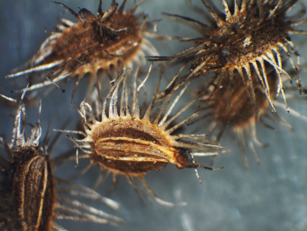 Figure 10: Seedpod